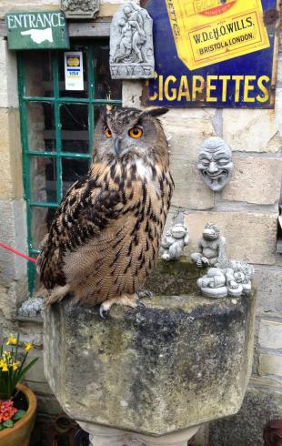 Sage the Eurasian Eagle Owl
